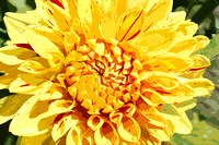 Yellow Speckled Dahlia (art)