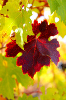 2013 Autumn Vineyards 1
